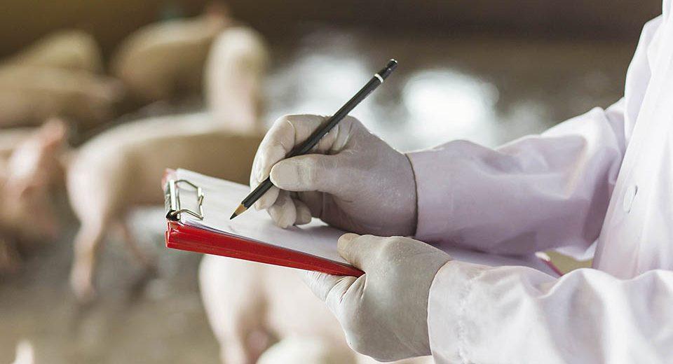 Servicio full service 360º y completo para empresas del sector primario. Por ejemplo, en ganadería de cerdos
